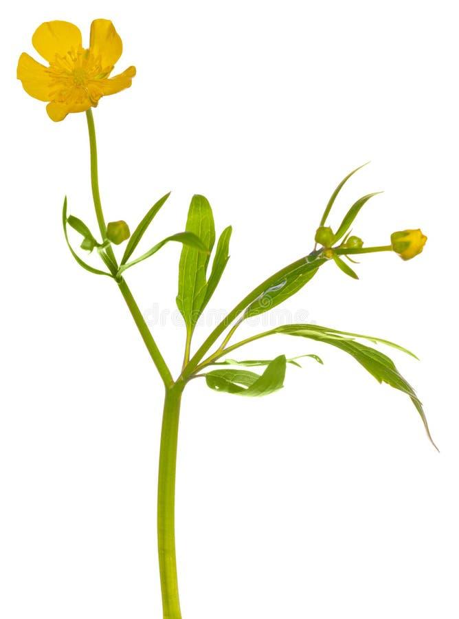 Flor amarela do botão de ouro no branco imagens de stock royalty free