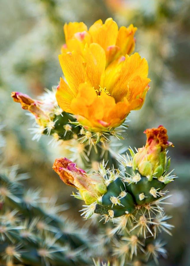 Flor amarela do cacto imagens de stock