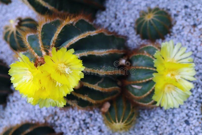 A flor amarela do cacto que floresce no jardim fotos de stock royalty free
