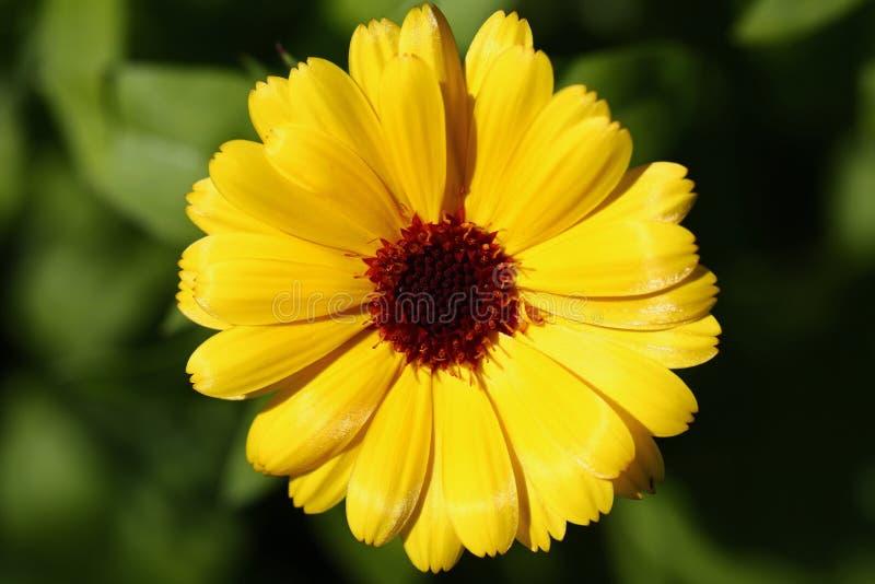 Flor amarela do calendula foto de stock
