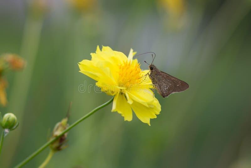 Flor amarela do cosmos imagem de stock