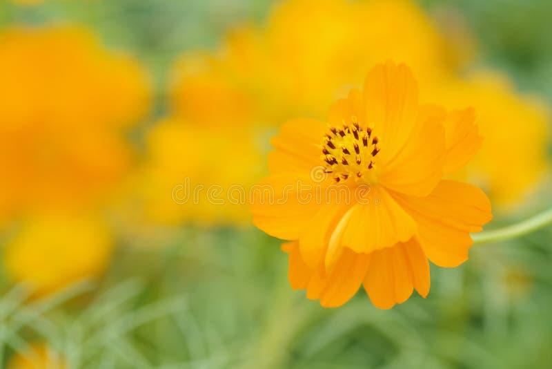 A flor amarela do cosmos no amarelo verde borrou o fundo, raso foto de stock royalty free