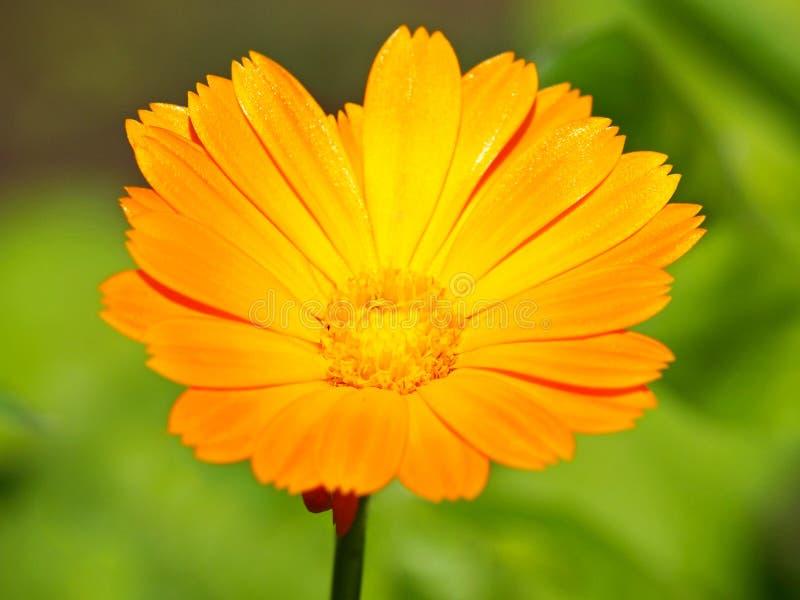 Flor amarela do cravo-de-defunto de potenci?metro fotos de stock