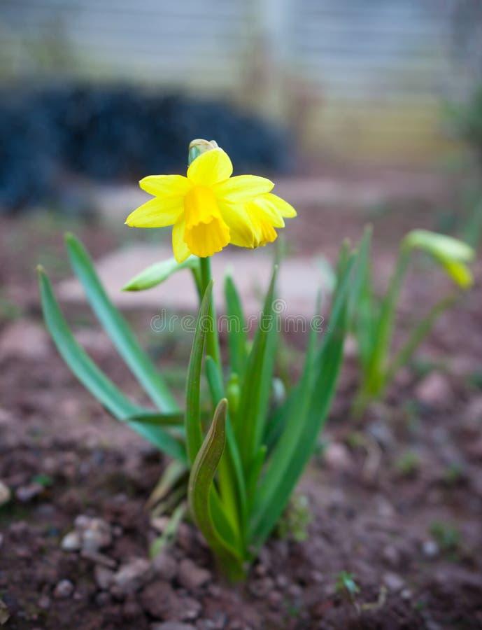 Flor amarela do daffodill no jardim do verde da casa fotos de stock