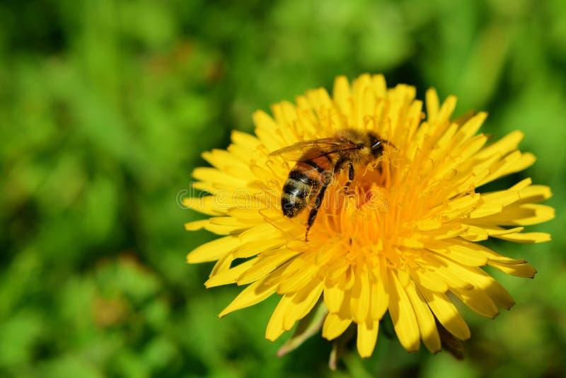 Flor amarela do dente-de-leão com abelha foto de stock