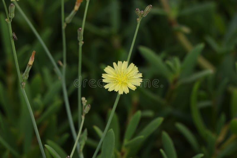Flor amarela do dente-de-leão da flor a bonita e brilhante única no campo imagens de stock royalty free