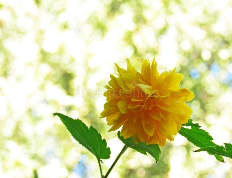 Flor amarela do dente-de-leão em um fundo claro fotografia de stock royalty free
