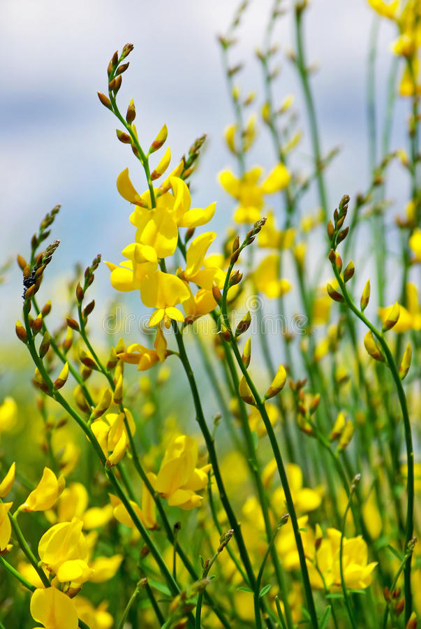 Flor amarela do genista selvagem. fotos de stock royalty free