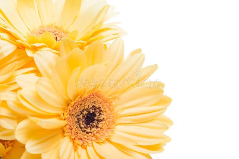 Flor amarela do gerbera sobre o fundo branco foto de stock royalty free