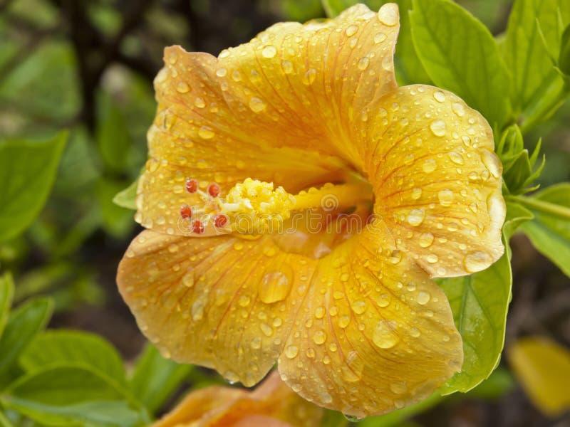 Flor amarela do hibiscus fotografia de stock