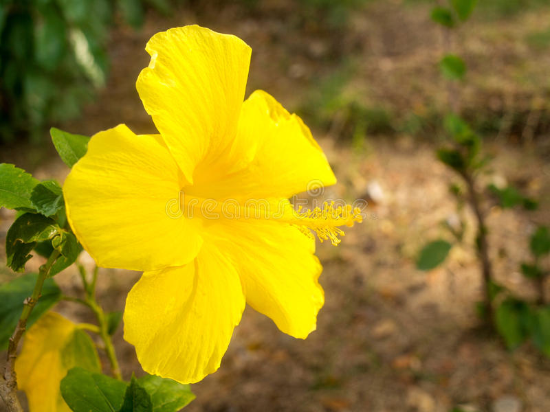 Flor amarela do hibiscus imagem de stock royalty free