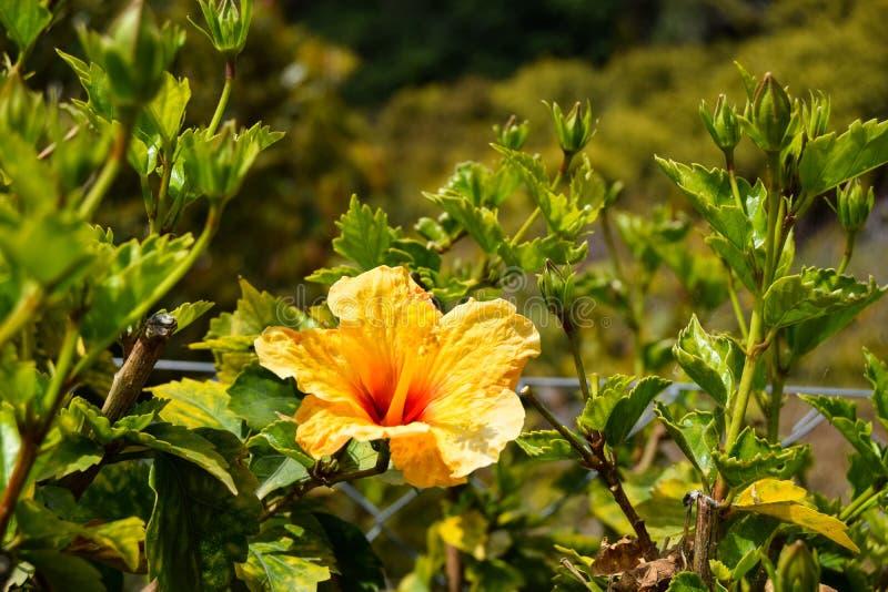 Flor amarela do hibiscus com folhas verdes imagens de stock royalty free