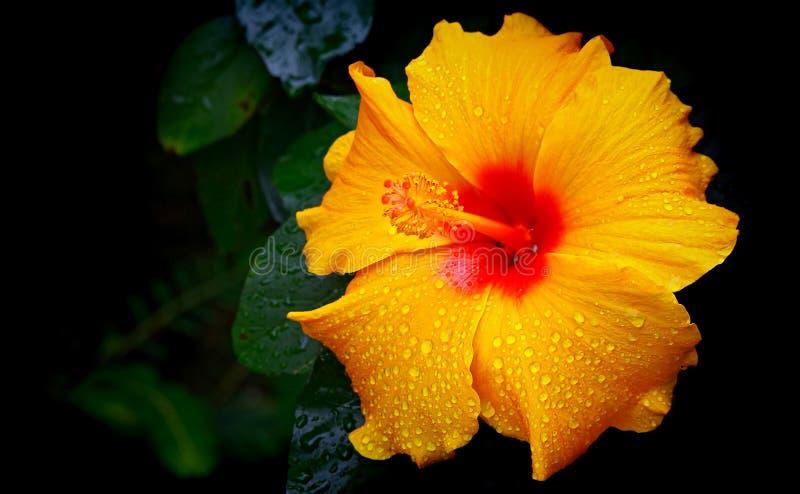 Flor amarela do hibiscus com gotas de orvalho fotografia de stock