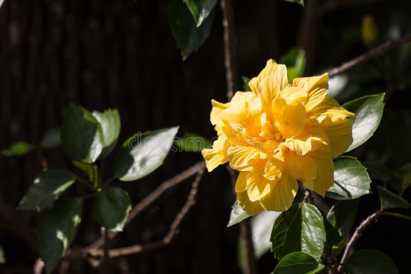 Flor amarela do hibiscus no fundo preto do dard imagens de stock