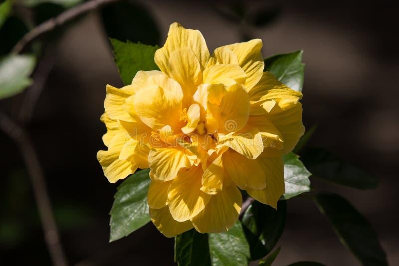 Flor amarela do hibiscus no fundo preto do dard imagem de stock