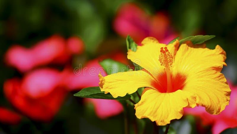 Flor amarela do hibscus fotografia de stock royalty free