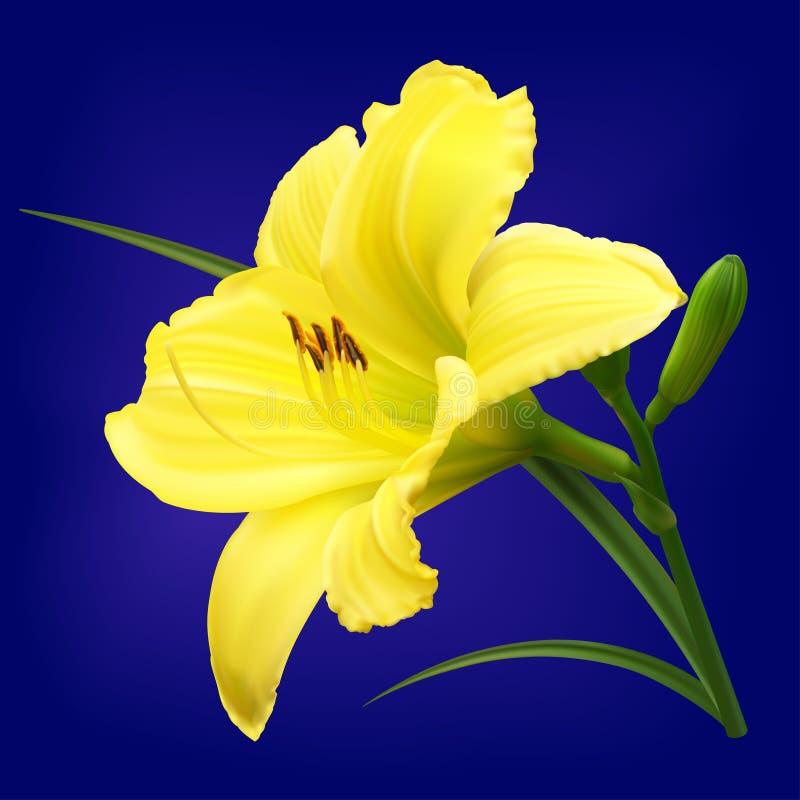 Flor amarela do lírio com botões ilustração royalty free