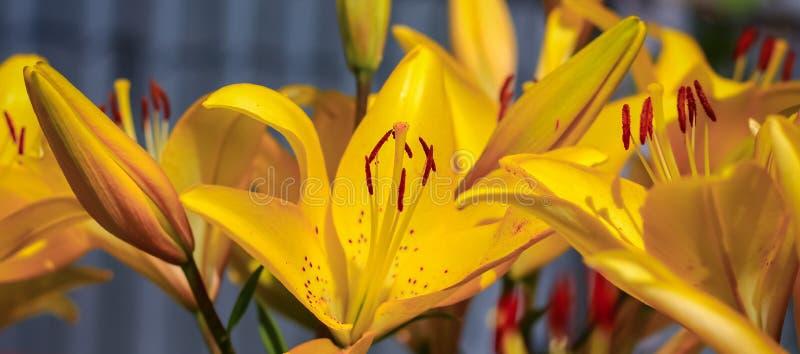 A flor amarela do lírio cresce no jardim do verão no sol fotos de stock