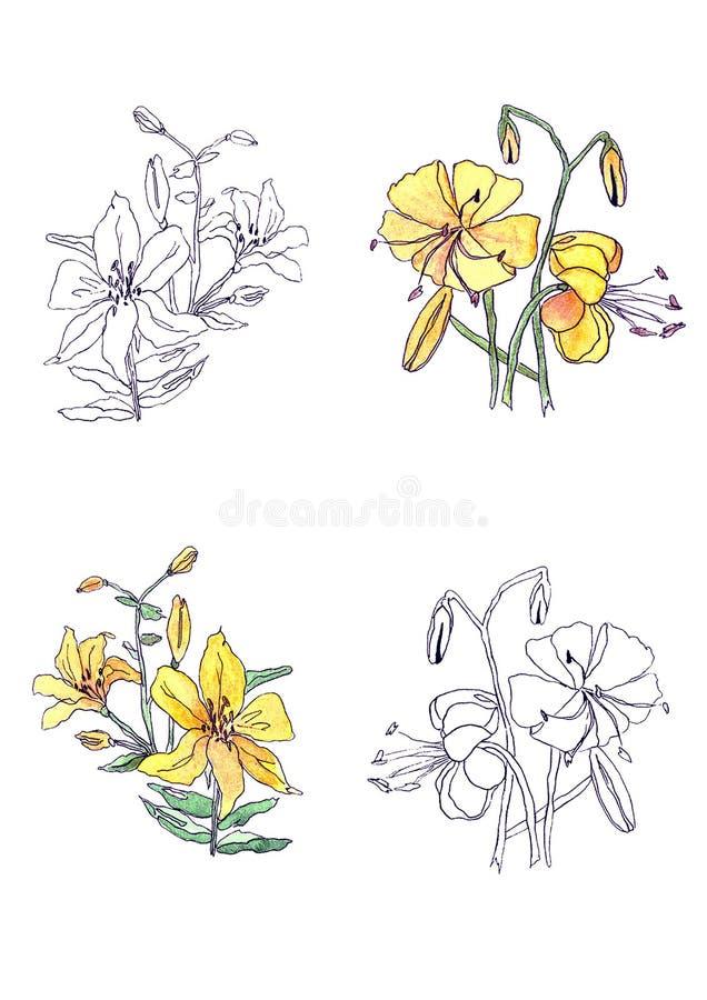 Flor amarela do lírio da aquarela no fundo branco ilustração royalty free