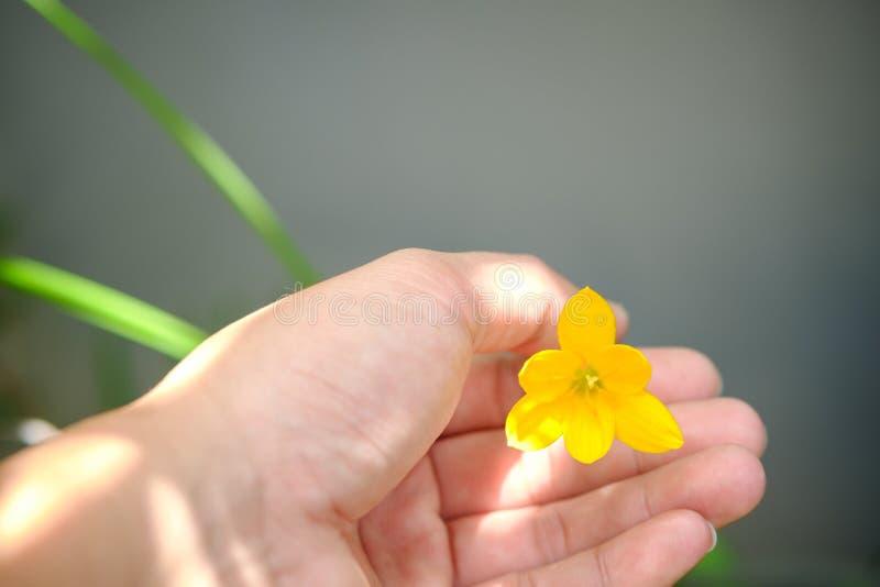 Flor amarela do lírio da chuva foto de stock royalty free