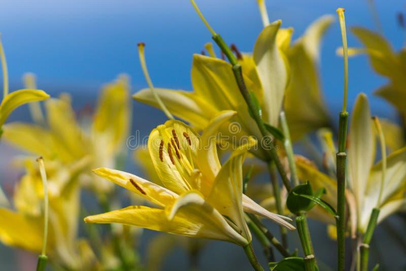 Flor amarela do lírio no jardim imagem de stock