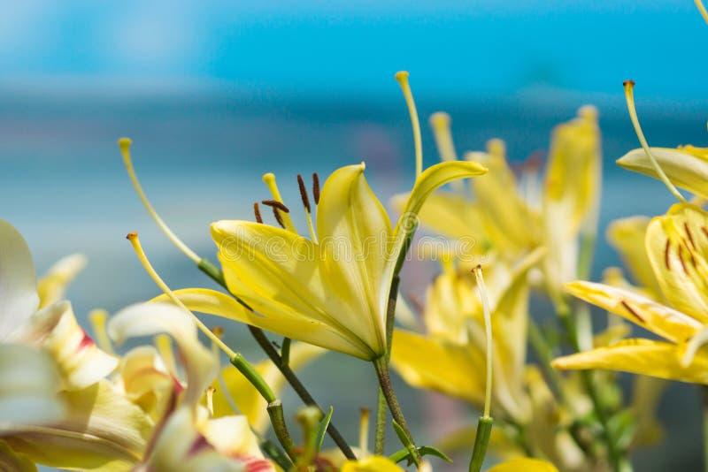Flor amarela do lírio no jardim foto de stock royalty free