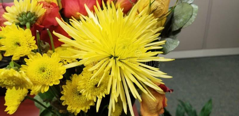 Flor amarela do mum da aranha fotografia de stock royalty free