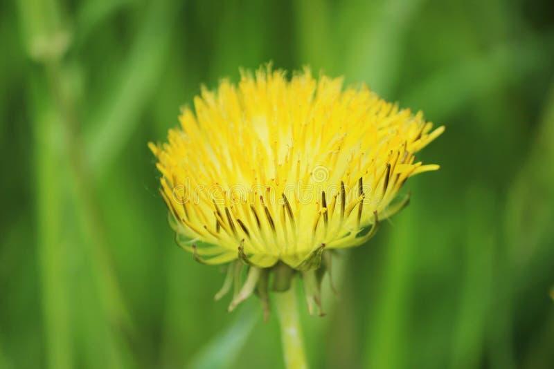 A flor amarela do officinale o defeituoso do Taraxacum do dente-de-leão com pétalas atrofiadas cresce no solo demasiado fertiliza imagens de stock royalty free
