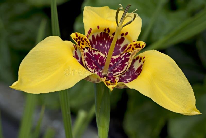 Flor amarela do pavonia do tigridia no jardim, fim fotografia de stock royalty free