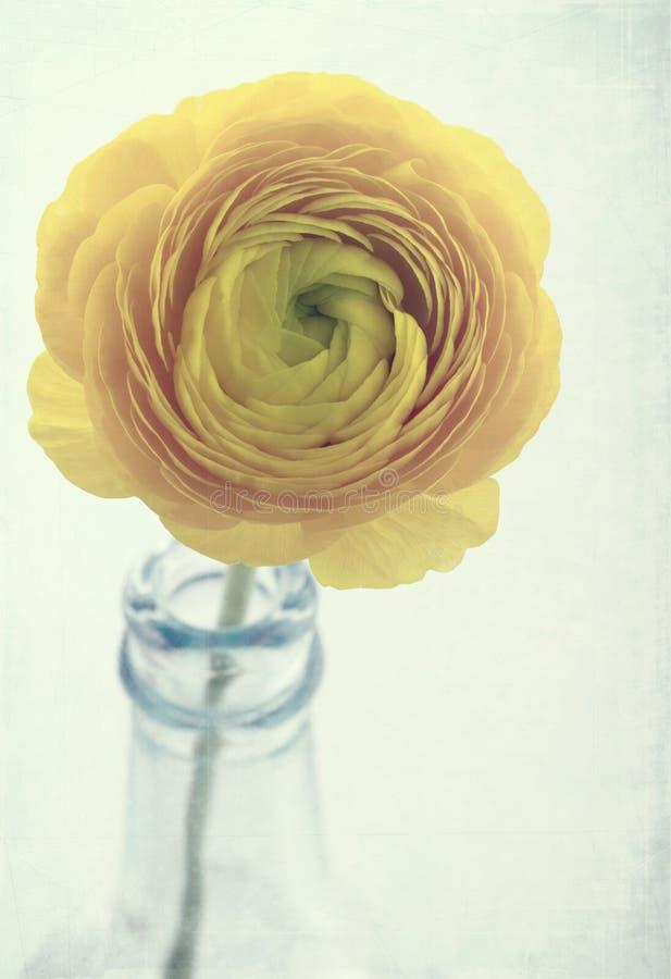 Flor amarela do ranúnculo fotografia de stock
