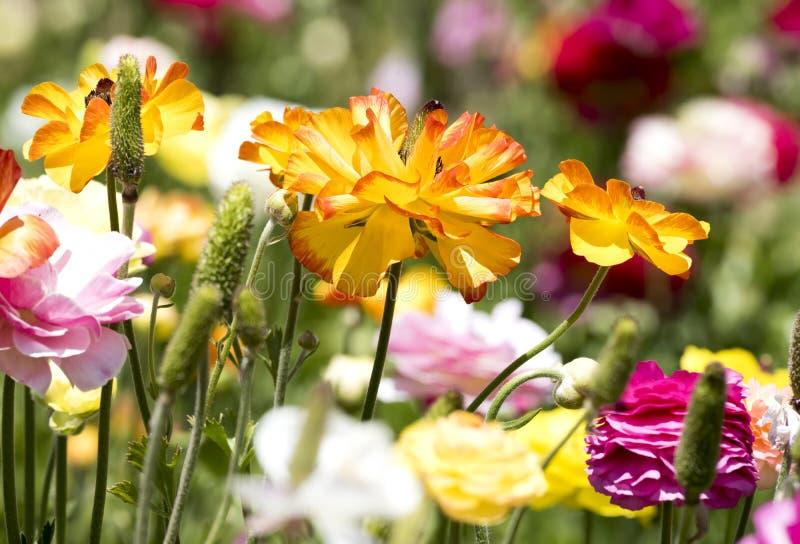 Flor amarela do ranúnculo fotos de stock royalty free
