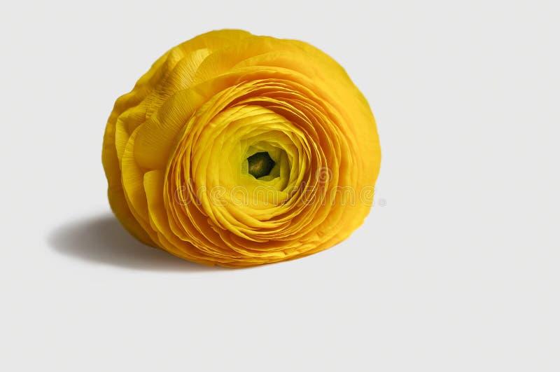Flor amarela do ranúnculo fotografia de stock royalty free