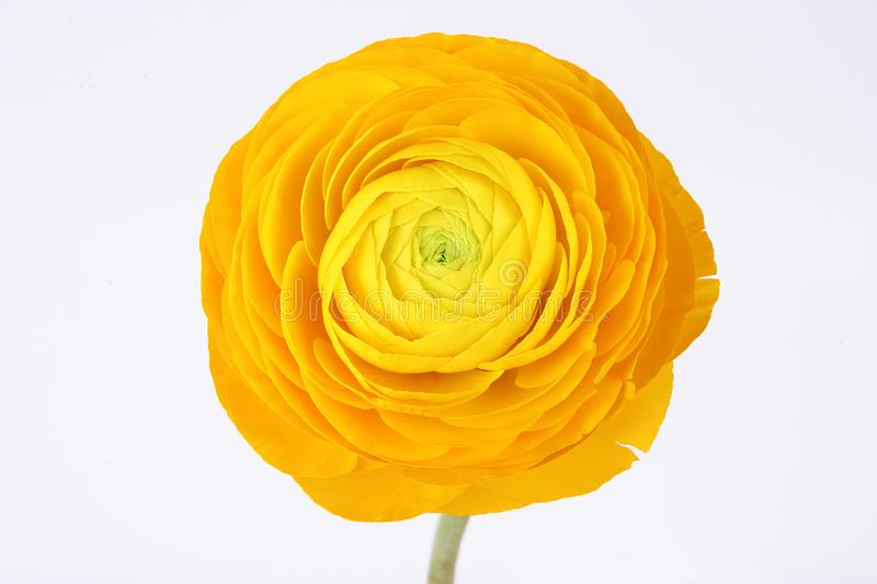 Flor amarela do ranúnculo no fundo branco foto de stock royalty free