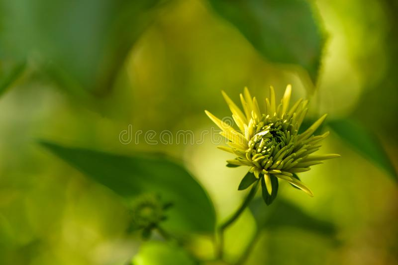 Flor amarela do Rudbeckia imagem de stock royalty free