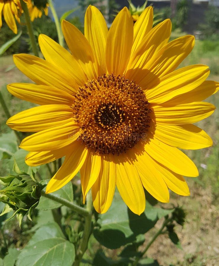 Flor amarela do sol fotografia de stock royalty free