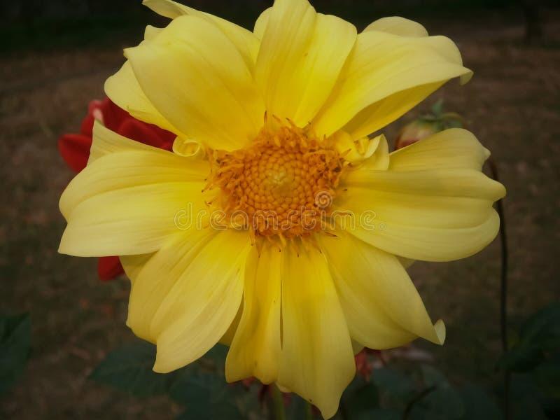 Flor amarela do vento imagem de stock