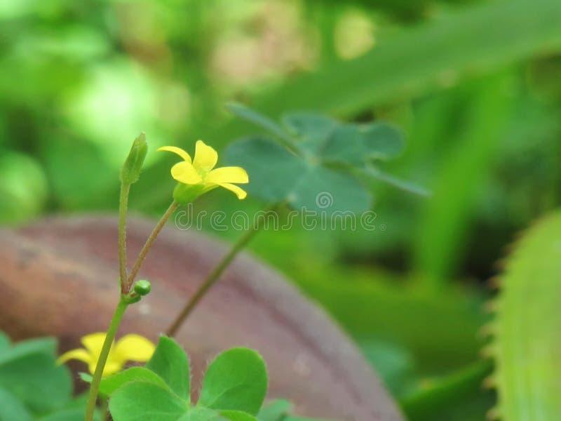 Flor amarela do woodsorrel do rastejamento, corniculata L de Oxalis Florescência entre as folhas verdes fotografia de stock
