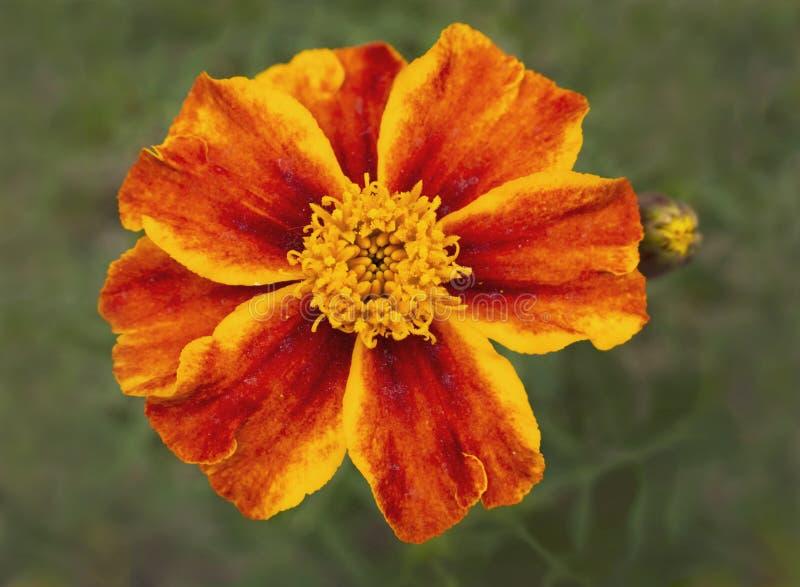 Flor amarela e alaranjada do cravo-de-defunto do anão imagens de stock royalty free