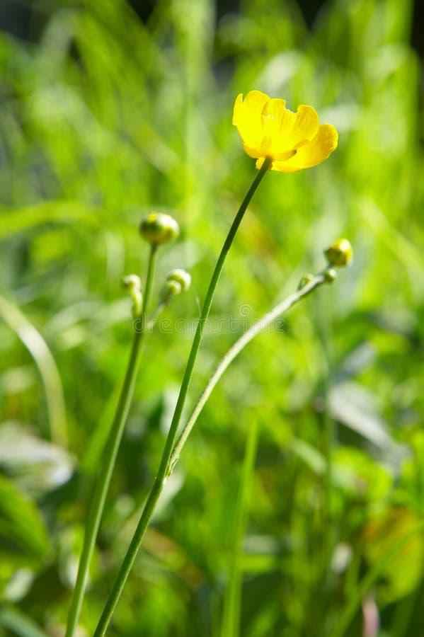 Flor amarela e grama verde fotos de stock