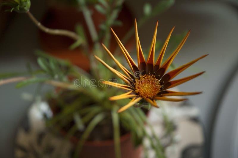 A flor amarela e marrom secada da pétala com verde sae no cla vermelho imagem de stock