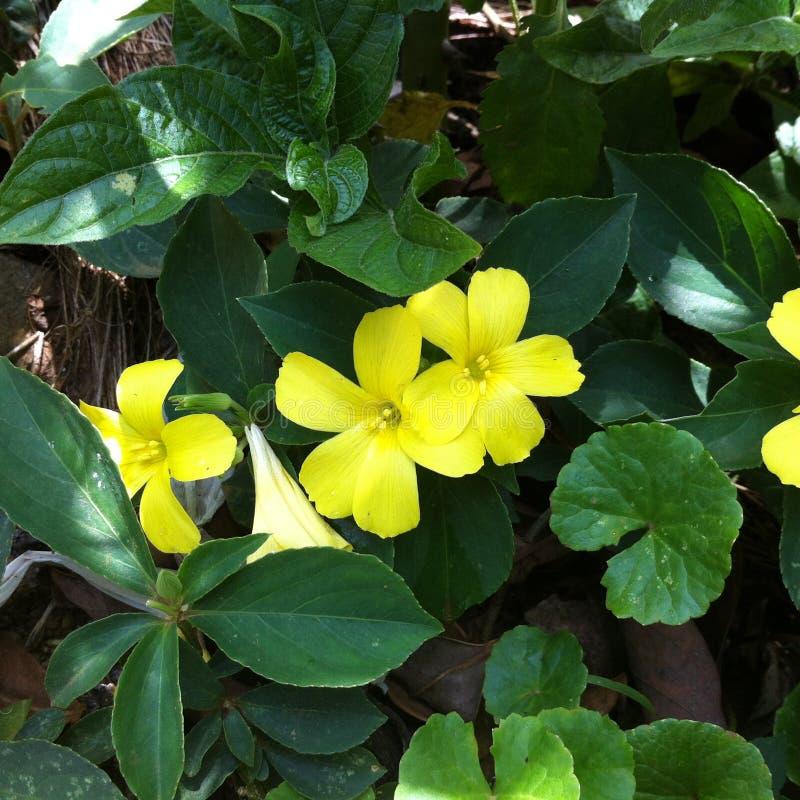 Flor amarela em meu jardim foto de stock royalty free