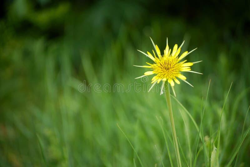 Flor amarela em um fundo da grama verde foto de stock royalty free