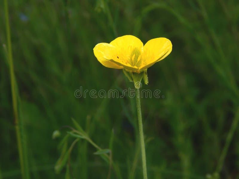 flor amarela em um fundo da grama verde em um prado no close-up da tarde fotos de stock