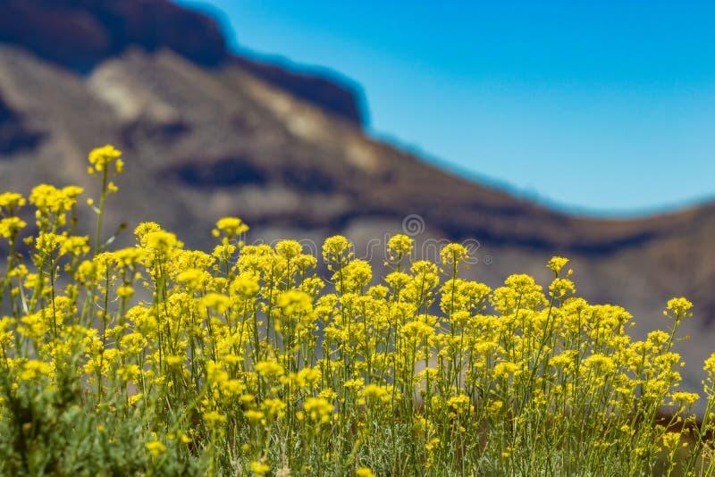 Flor amarela endêmico bonita flixweed - bourgaeana do Descurainia Foco seletivo Montanhas borradas naturais e céu azul claro dent foto de stock royalty free