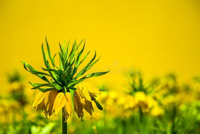Flor amarela imperial da coroa fotografia de stock
