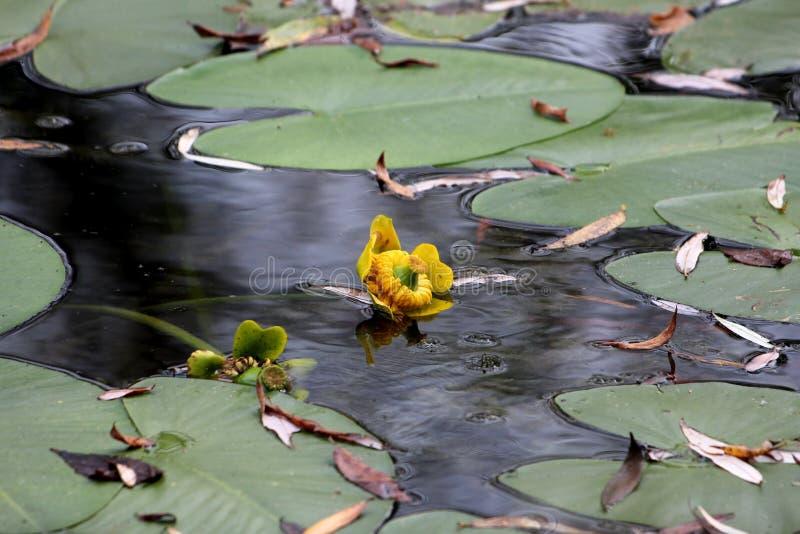Flor amarela inteiramente aberta e florescendo da planta constante rhizomatous aquática do lírio de água ou da erva do Nymphaea c imagens de stock