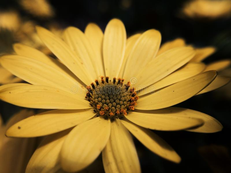 Flor amarela macro em sombra circunvizinha imagens de stock