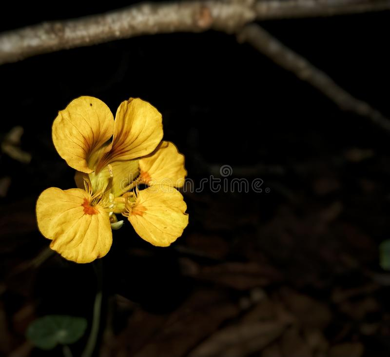 Flor amarela magnífica imagens de stock