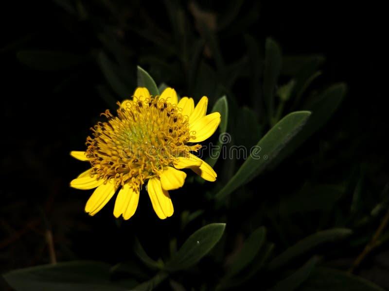 Flor amarela magnífica foto de stock