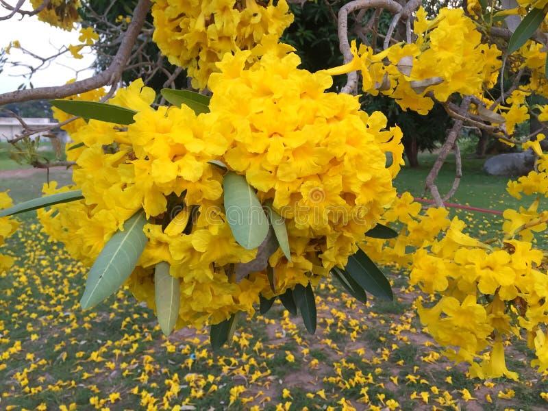 Flor amarela na árvore de trombeta da prata do jardim imagens de stock